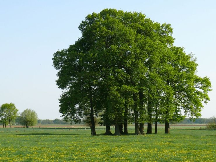 oak trees in May