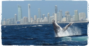 whales at Gold Coast
